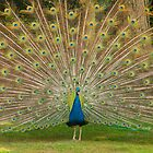 Peacock in Full Display by ajwimages