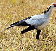 Secretary Bird by Pravine Chester