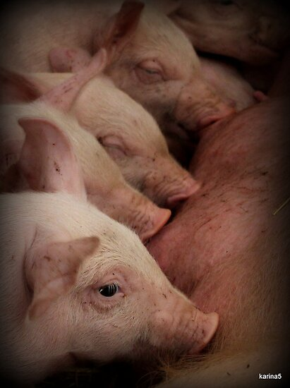 Line of Piglets by karina5