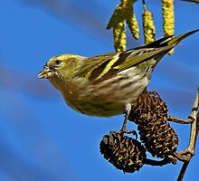 Siskin by jesika