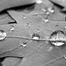 Drop on Leaves by lindsycarranza