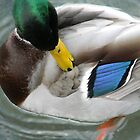 Colorful Mallard by VixenFirepaw