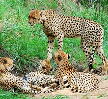 BROTHERS & SISTERS - THE CHEETAH - Acinonyx jabatus - JAGLUIPERD by Magaret Meintjes