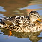 Female Duck by ajwimages