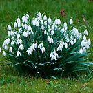 A Clump of Snowdrops by Karen Martin