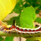 Acronicta psi caterpillar by The Creative Minds