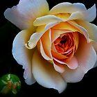 My Favorite Rose by Heather  Andrews Kosinski