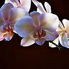Orchid. by pennyandphoebe
