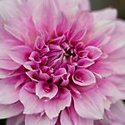 Dahlia by Bloom by Sam Wales