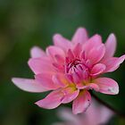Dahlia ~ Pink Love by Bloom by Sam Wales