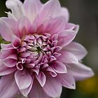 Dahlia Pure by Bloom by Sam Wales