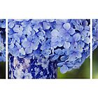 Hydrangea Storyboard by Bloom by Sam Wales