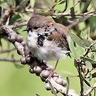 Young Blue Wren Starting To Color by Kym Bradley