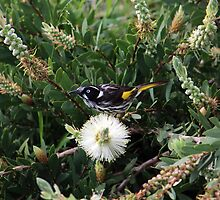Honey Eater by Oogie