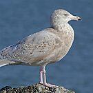 Glaucous Gull 2 by Robert Abraham