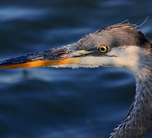 Great Blue Heron #6 by Kane Slater