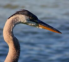 Great Blue Heron #1 by Kane Slater