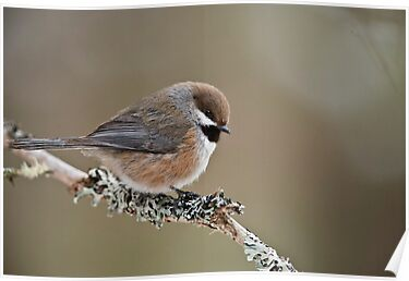 Boreal Chickadee by Michael Cummings