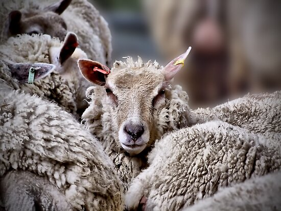 Sheep !! by Colin J Williams Photography