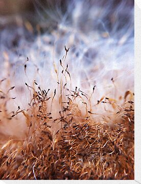 Bull rush seeds by Paul Duncan