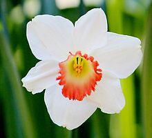 White Daffodil by Cynthia48