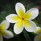 The Frangipani by Penny Alexander