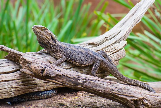 Bearded Dragon by Steve Randall