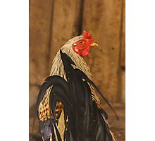 Game Rooster Photographic Print