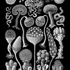 Slime Molds (Mycetozoa) by Ernst Haeckel by RedPine