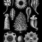 Calcareous Sponges in Black and White (Calcispongiae) by RedPine