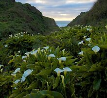 Calla Lilies at Sunset by Bruce Alexander