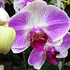 Purple Orchid 4 by cathycnyrs