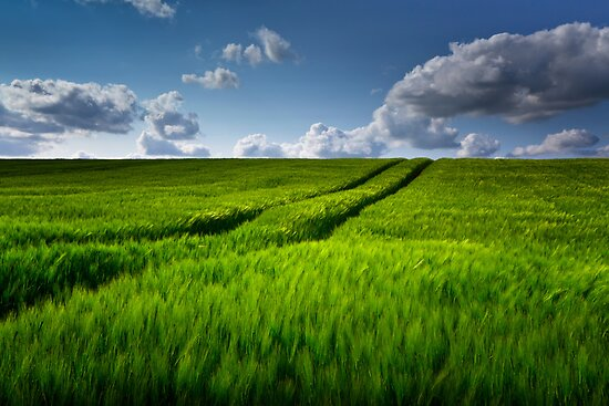 Green Field of Barley by Kim Hansen