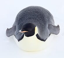 emperor penguin by funnybear