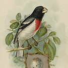 Rose Breasted Grosbeak by Jon Kolton