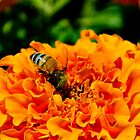 Busy bee by outbacksnaps