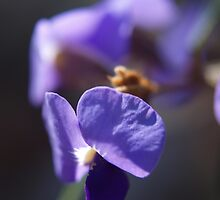 Hovea by kalaryder