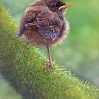 Baby wren by Peter Skillen