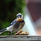 Blue Jay With A Peanut by JoeDavisPhoto