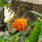 Eastern Tiger Swallowtail Butterfly On Butterfly Weed by mcstory