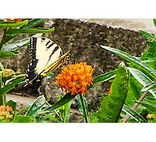 Eastern Tiger Swallowtail Butterfly On Butterfly Weed Photographic Print