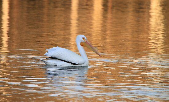 Pelican in Water by art-hammer
