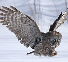 The plight of the great grey owl by Heather King