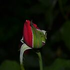 rosebud by Paul Halley