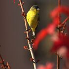 Lesser Goldfinch In Autumn Blaze Maple Tree by Diana Graves Photography