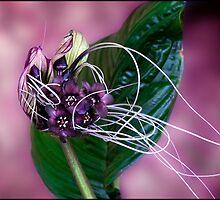 Bat Flower by Helenvandy