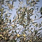 Olive tree by asaphus
