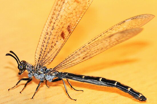 A damselfly stopped by... by Rina Greeff