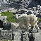 Goat Strut by Squidcake