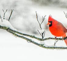 Cardinal In Snow by mcstory